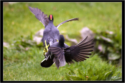 combattimento gallinelle2