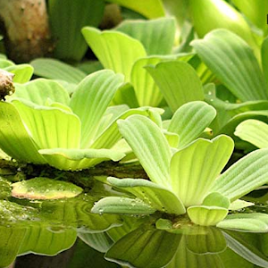 Aquatic plants Free