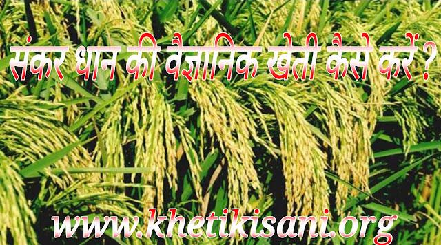 संकर धान की खेती कैसे करें ? (Profitable and Modern Farming of Hybrid Paddy in hindi )