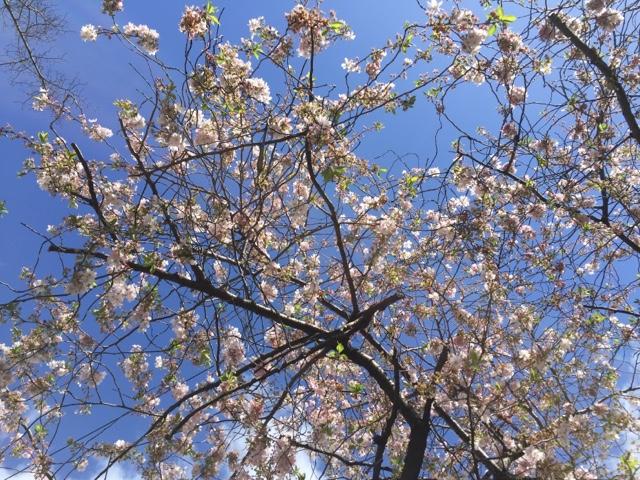 デュッセルドルフの桜4