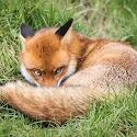 2nd - Sly Fox_Martin Patten.jpg