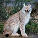 Laughing lynx_Martin Patten.jpg