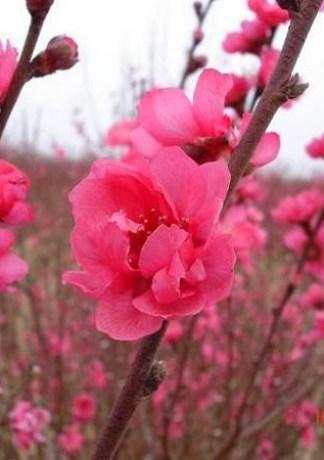 Hình ảnh hoa đào đẹp nhất 2017 – Hình ảnh cây đào Tết đẹp