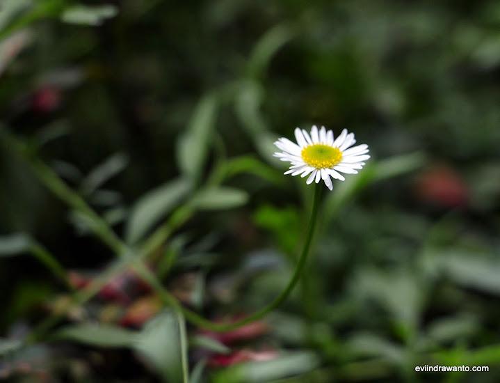 bunga chammomile