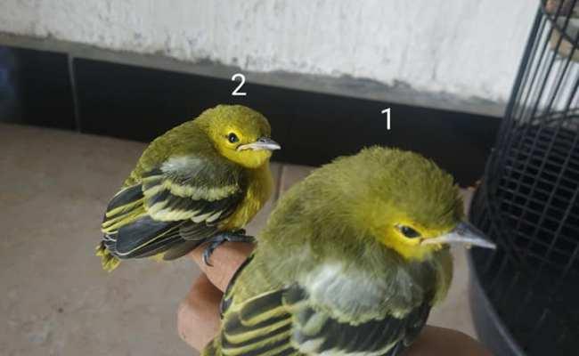 Cara Membedakan Burung Cipow Sirtu Jantan Dan Betina Cute766