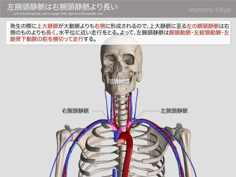 Left-brachiocephalic-vein-is-longer-than-right-brachiocephalic-vein.jpg