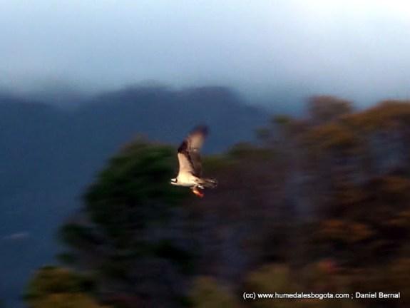 Águila pescadora con la presa en sus garras