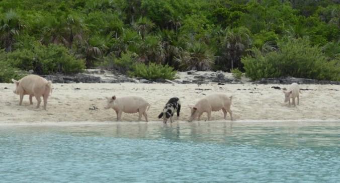 Pig Beach | Caribbean Sealife