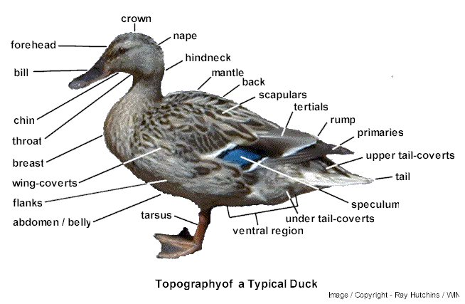 duck skeleton diagram fender texas special wiring telecaster jamie bishop: black-bellied whistling-duck