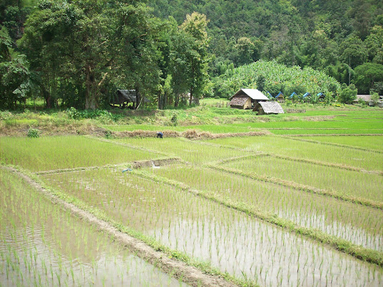 Rice Fields of Thailand