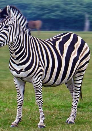 25 hình ảnh ngựa vằn hoang dã đẹp nhất thế giới HD