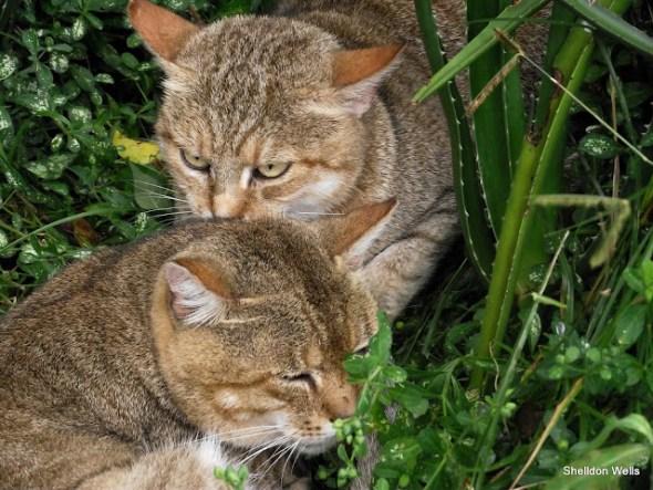 African Wild Cat at Emdoneni