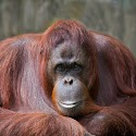 Advanced 3rd - Orangutan_Carrie Eva.jpg
