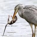 Best Wildlife - Rat Catcher_Martin Patten.jpg