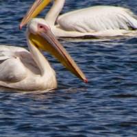 Пеликаны прилетели!
