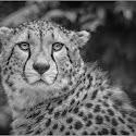 Intermediate 3rd - Cheetah Portrait_Debbie Ram.jpg