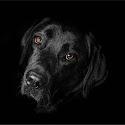 Intermediate 3rd - Labradorable_Lloyd Moore.jpg