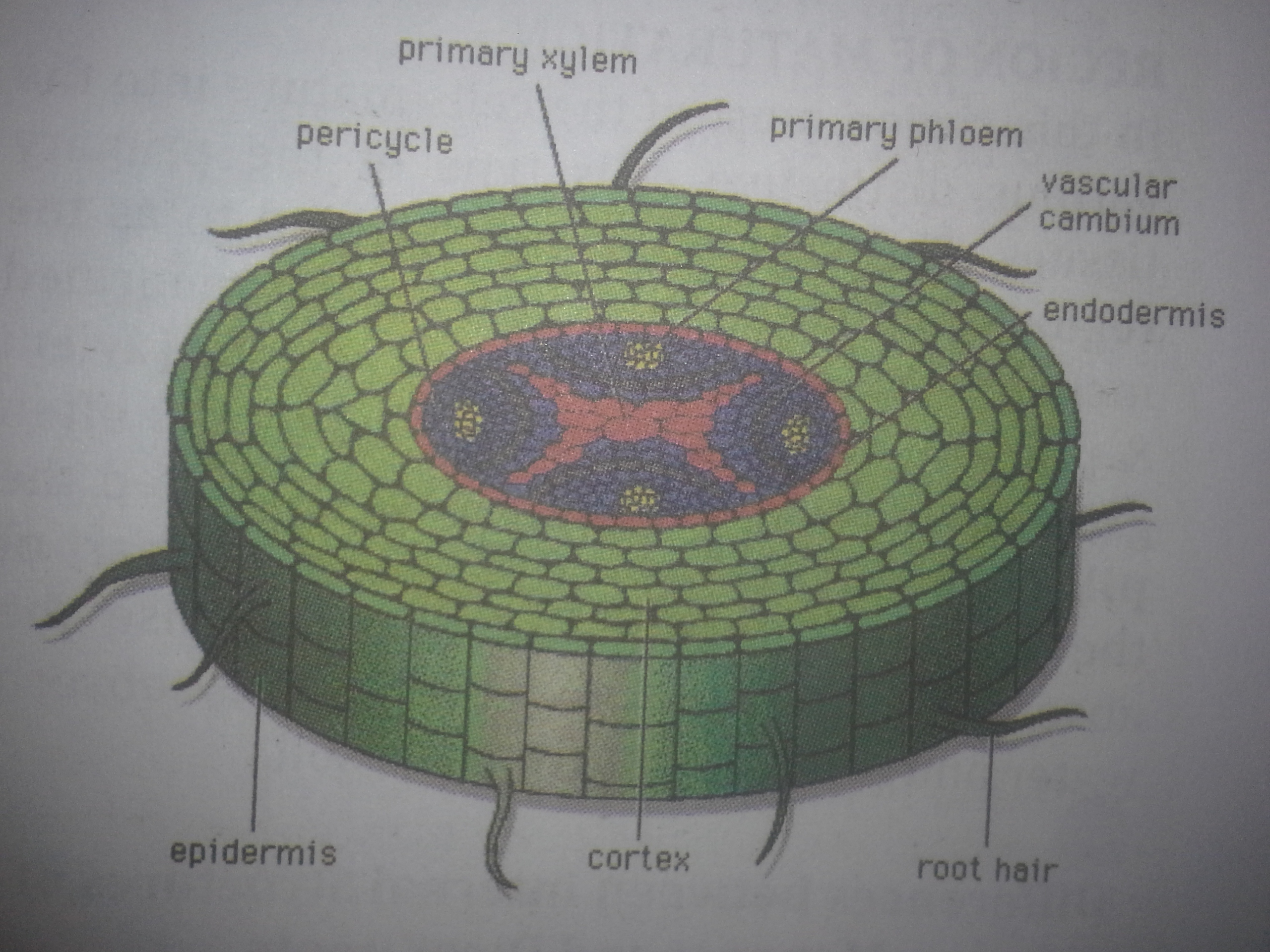 labelled diagram of xylem and phloem 2000 honda accord radio wiring internal structures roots stem leaves