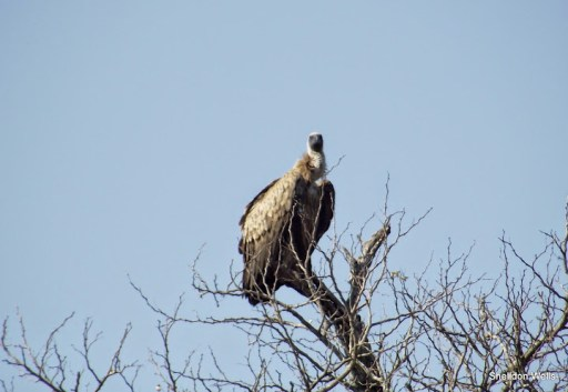 Whitebacked Vulture at Hluhluwe Imfolozi Game Reserve