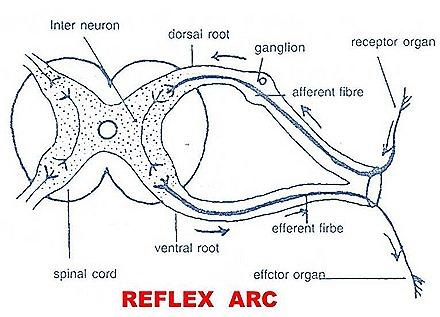 reflex arc diagram 2004 ford explorer audio wiring actions biozoom