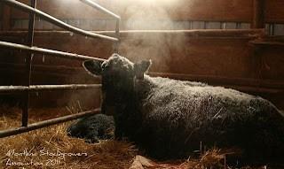 sitz angus ranch calving