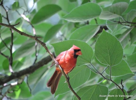 主紅雀(Northern Cardianl)