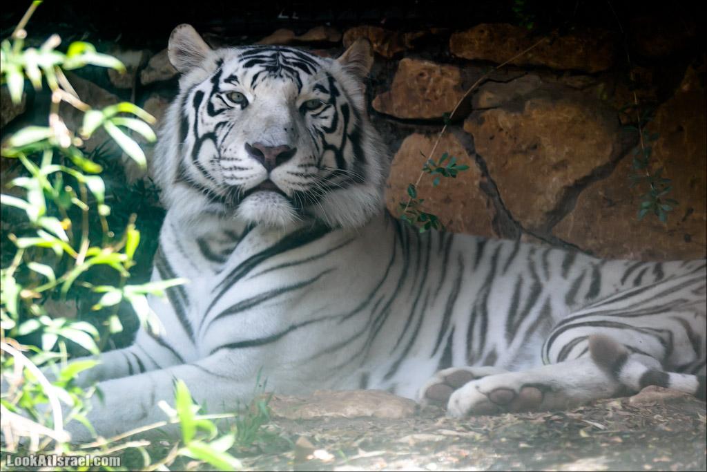 Здесь водятся тигры