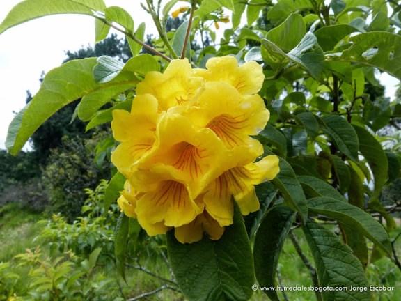 Flor de chicalá
