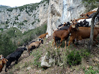 A herd of goats, led only by a dog, passes through our trail.