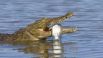 Proven Reasons Why Crocodiles Cry While Eating Their Preys Proven Reasons Why Crocodiles Cry While Eating Their Preys 1602498482293449 2 Proven Reasons Why Crocodiles Cry While Eating Their Preys Proven Reasons Why Crocodiles Cry While Eating Their Preys 1602498482293449 2