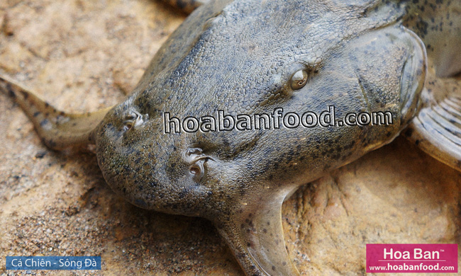 Cá Chiên - Sông Đà - Goonch Fish - 1