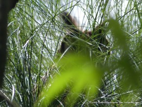 Asio clamator adulto en el Humedal Córdoba