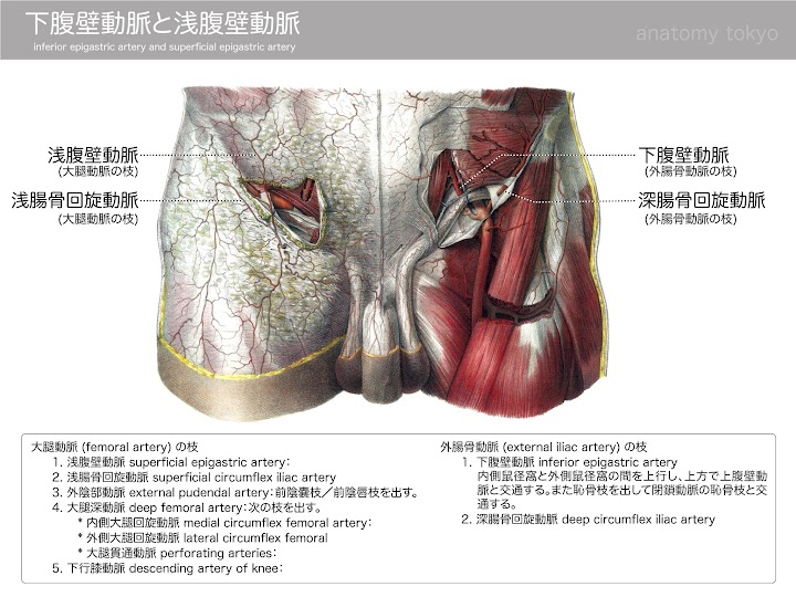 2013-h25-inferior-epigastric-artery-and-superficial-epgastric-artery.jpg