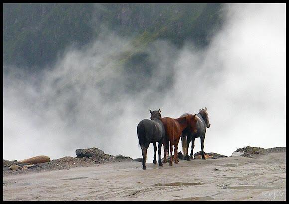 rohtang horses