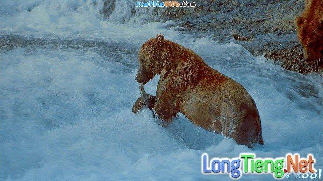 Xem Phim Vương Quốc Loài Gấu - Imax: Bears - phimtm.com - Ảnh 1