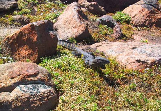 Monitor Lizard on the Cape to Cape Track near the Canal Rocks