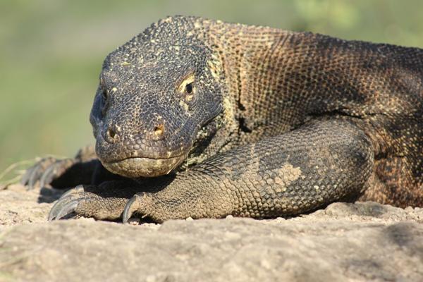 Binatang purba yang gede, Komodo