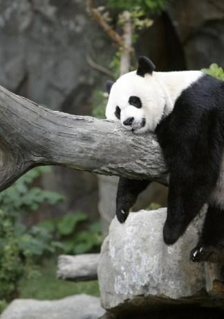 25 hình ảnh những chú gấu trúc dễ thương ngộ nghĩnh đẹp