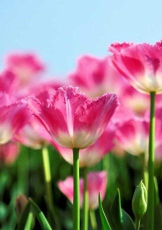 Hình nền Hoa Tulip đẹp với những cánh đồng đầy màu sắc