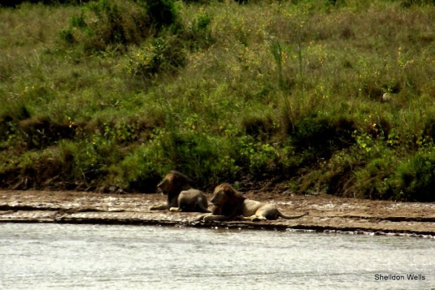Lion on River Bank in Hluhluwe Imfolozi Game Reserve