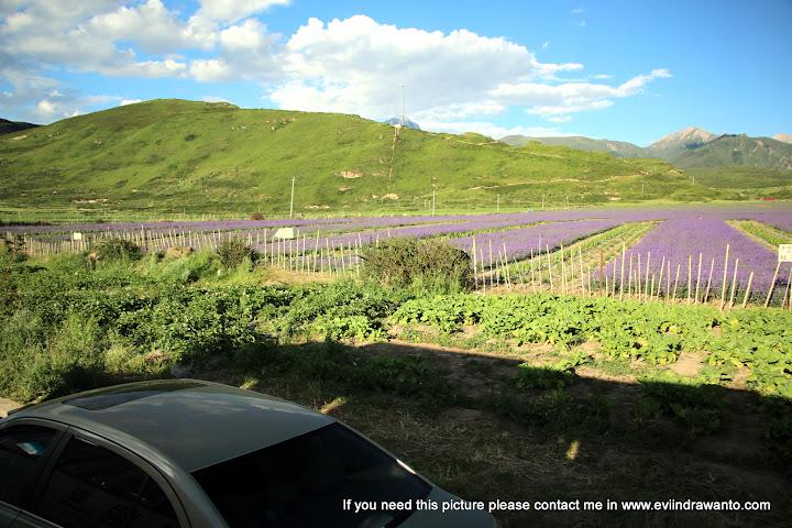 kebun lavender