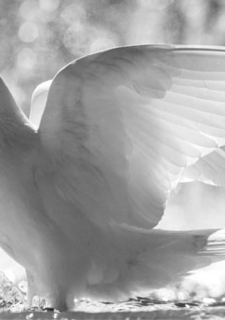 20 hình ảnh chim bồ câu tuyệt đẹp làm hình nền