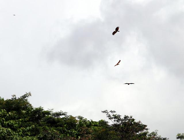 3 ekor elang tengah menari di udara