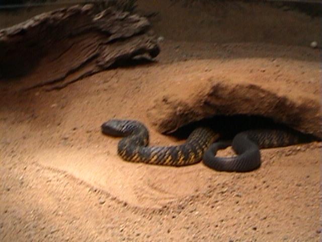 0100Tiger Snakes