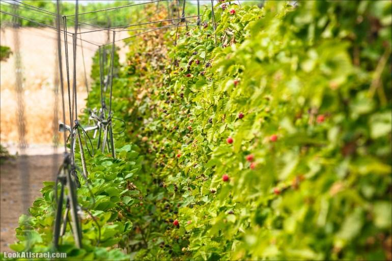 Сбор ежевики, шелковицы, малины в Израиле   Harvest berries in Israel   קטיף פטל   LookAtIsrael.com - Фото путешествия по Израилю