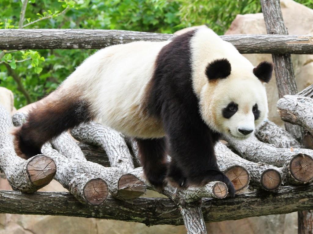 (261)panda-geant©ZooParc-de-Beauval-2013