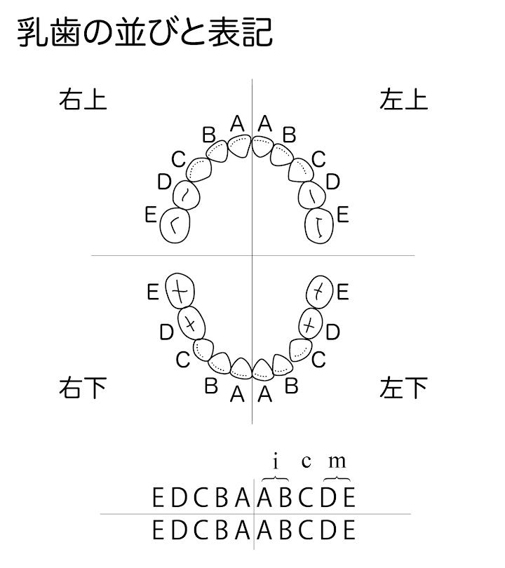 歯式05:乳歯の並びと表記.png
