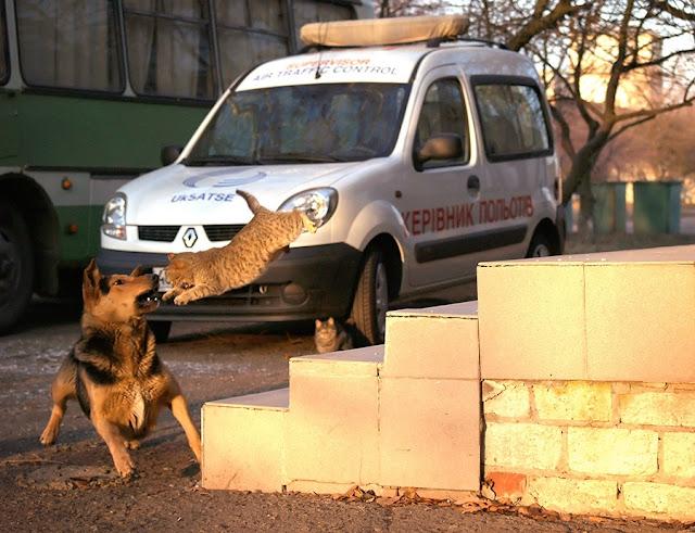 Собака гоняет кошку