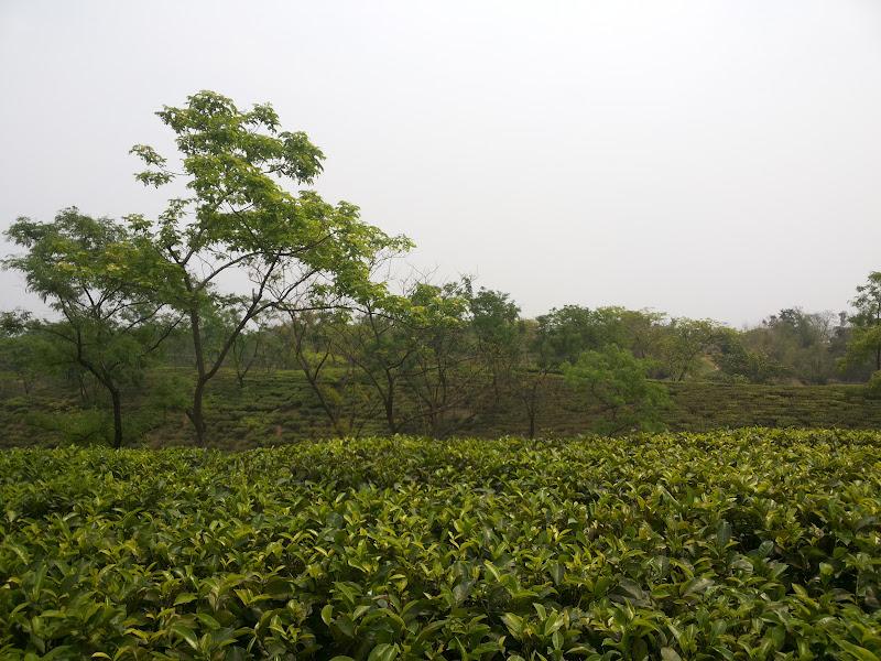 Silcoorie Tea-estate - Silchar, Assam