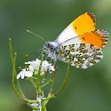 1st - Orange Tip_Martin Patten.jpg